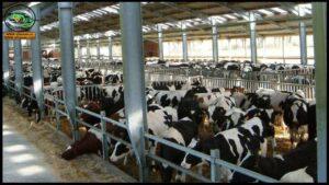 الشروط الفنية لبناء حظائر الأبقار