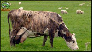تعرف على أهم سلالات الأبقار