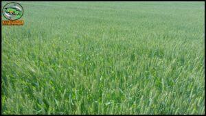 طرق تقسيم المحاصيل الحقلية