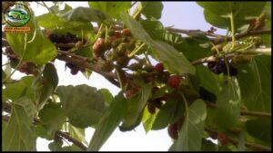 زراعة التوت لإنتاج الحرير الطبيعي