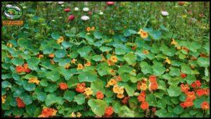 نبات الكبوسين ( أبو خنجر )
