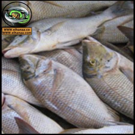 الأسماك ومنتجاتها