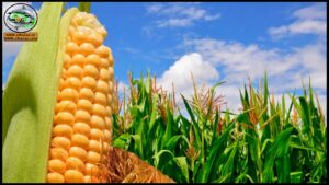 التوصيات الفنية الخاصة بمحصول الذرة الشامية