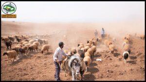 فيديوهات الماشية والأغنام